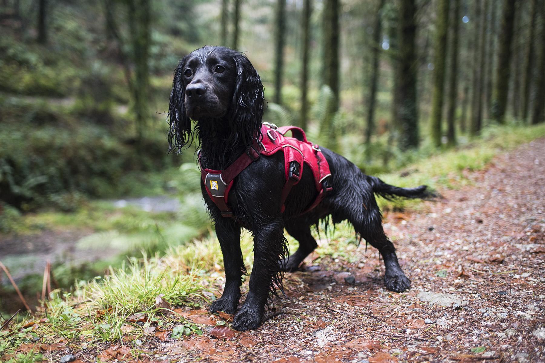 Ruffwear Webmaster Harness | The Cornish Dog