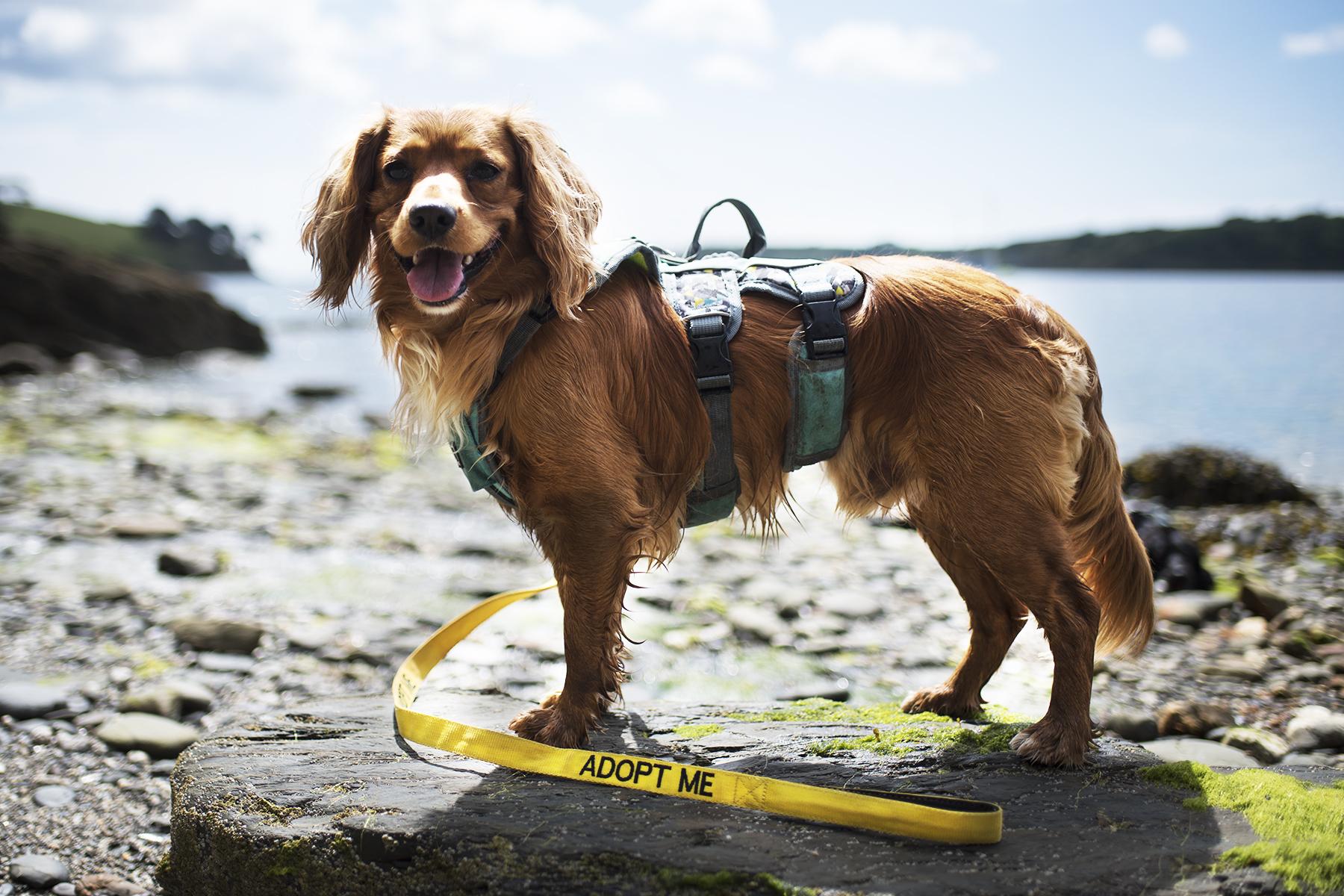 Adopt Me Lead   The Cornish Dog